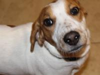 Paul is a 1 year, 33 pound Beagle mix. Paul and his