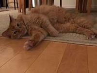 Paxton's story ~~Paxton This large and in charge kitty