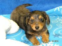 Paz is a longhair silver dappled mini dachshund male