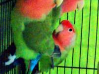 I Have 1 love bird for sale at 45$(2 sold). He's about