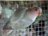 I have two young peach face lovebirds available. They