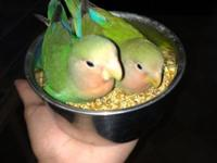 Hi selling love birds great birds they were all hand