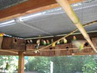 LOVEBIRD BREEDERS, DOWNSIZING, I HAVE TOO MANY. IF