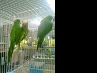 I have 4 Peach front Conure males available for sale or