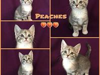 Peaches's story Peaches is a sweet and playful kitten.