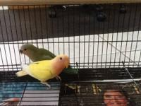 I currently have 3 baby lovebirds for sale. They are