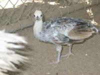 I have to month+ old peachicks Black Shoulder, Blue,