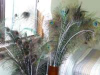 Beautiful Peacock feathers, only $1 each. Great for any