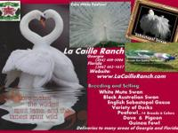LA CAILLE RANCH BREEDS AND SELLS BEAUTIFUL BIRDS &