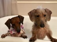 Peanut and Junior are a fun bonded pair of Dachshunds.