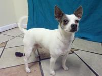 Peanut is a Chihuahua mix that is about five years old.