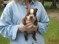?Peanut? is a chunky little red & white male Boston