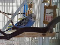 Peanut, a 5 year old blue female budgie, came to us