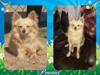 Peanut is a 2 year old Pom mix looking for his forever