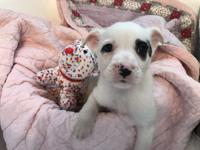Pearl is a female white puppy with black markings. She