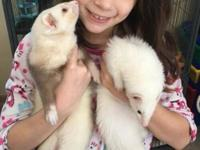 Buster and Pearl are sweet 2 yr old ferrets looking for