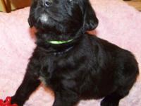 1st generation BLACK Labradoodle Puppy: Prepared to go