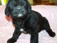 1st generation BLACK Labradoodle Puppy: Ready to go