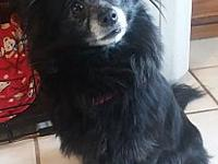 Pebbles's story Pebbles 6 yr old Pomeranian Very sweet