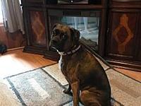 Pebbles's story Pebbles is a 4 year old brindle female