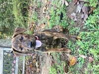 Pecan's story Pecan is a female Catahoula leopard