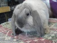 I have three Mini lop bucks for sale. They are