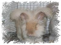 I have two litters or kits of angora bunnies one is a