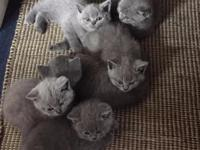 Animal Type: Dogs Pedigree British Shorthair Kittens