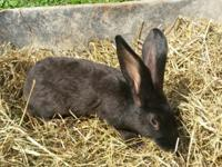 purebred pedigreed flemish giant bunnies. beautiful and