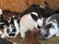 Holland Lops for Sale. Pedigree available. Babies and