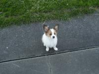 Robin is a 3 month old sable (brown and white with a