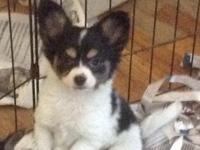 Adorable, smart, Papillon puppies for sale Females $800