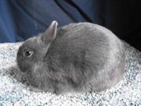 Pedigreed Polish Rabbits-Starter Herd of 6 4-H/ARBA Iam