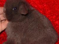 Adorable Pedigreed Holland Lop Doe Cute little girl. .
