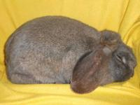 We have a blue steel French Lop buck for sale. He was