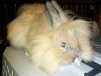 I have several beautiful English lops for sale. All