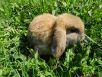 Holland Lop bunnies available. Holland Lops are the