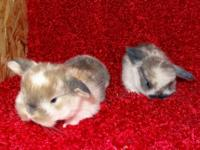Adorable Pedigreed Holland Lop Kits. Will be ready by