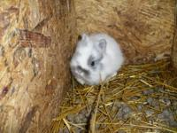 I have a SHOWABLE Pedigreed blue otter lionhead with a