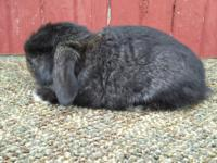 Pedigreed mini lop babies for sale, will be ready May