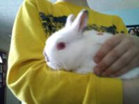 I have a 3 month old Netherland Dwarf buck for sale.