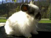 Solid Black Lionhead doe (8 weeks old) $15 with