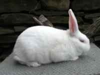 many rabbits for sale , all are purebred and pedigreed