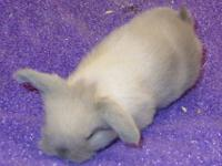 We have 2 beautiful Sable Point Pedigreed Holland Lop