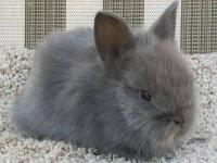 Pedigreed Double Mane Solid Blue Lionhead buck, $20 He