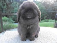 Up for sale is a Pedigreed Tort VC Holland Lop Doe. VC