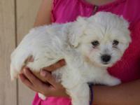 Cutest litter of Pekingese toy poodle cross pups. Mom