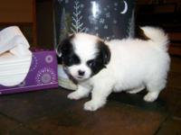 Peek a chi young puppy last one!! 400.00, now excepting