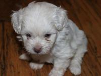 I have a super cute litter of Pekingese toy poodle