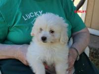 Cute litter of Pekingese toy poodle cross pups. They